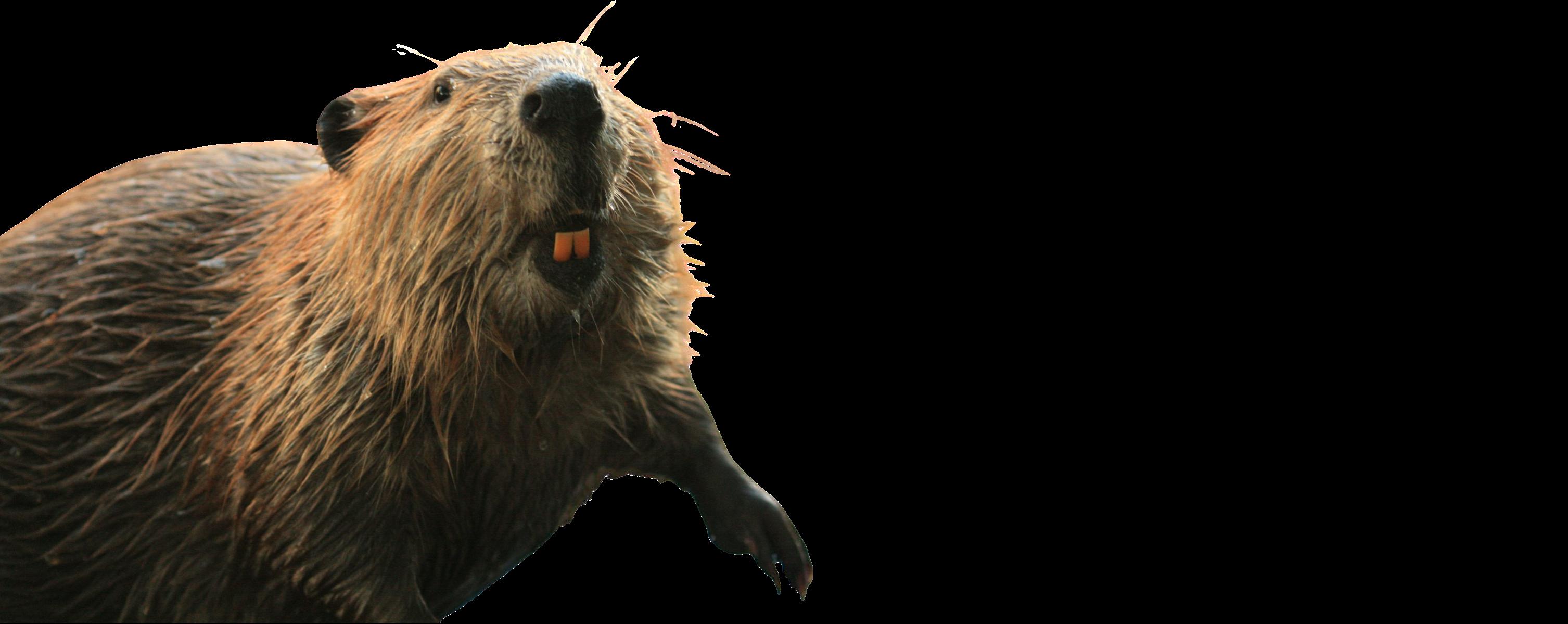 California Beaver