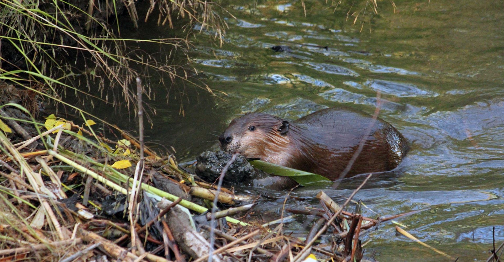 Mudding Beaver Dam